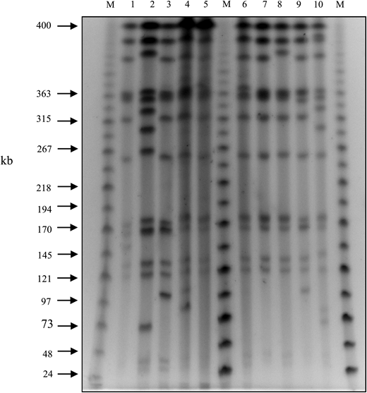 Representative gel of macrorestriction analysis, using PFGE, of M. kansasii genomic DNA after DraI digestion. Lane M, PFG MidRange II marker (New England BioLabs); lane 1, MK194; lane 2, MK029; lane 3, MK002; lane 4, MK017; lane 5, MK031; lane 6, MK026; lane 7, MK147; lane 8, MK150; lane 9, MK104; lane 10, MK117. Strains MK002, MK017, MK026, MK031, MK147 and MK194 belong to the same cluster (Figure 3, cluster B), while strains MK029, MK104 and MK117 belong to separate clusters, H, A and I, respectively. kb, kilobase.