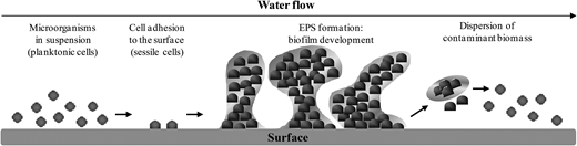 Major steps involved in biofilm formation. Planktonic cells attach to the surface, forming an extracellular polymeric matrix that stabilizes the biofilm and through which the fluid is able to circulate. Extracellular and intracellular signaling activates modulation of gene expression, contributing to improved cell resistance and survival. Upon biofilm maturation, daughter cells and microcolonies may be released and dispersed in the fluid stream, thus being able to colonize other surfaces.