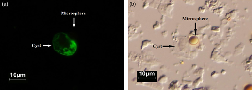 Giardia spp. cyst adhering to the microsphere, at an increase of 400 × , viewed in FITC (a) and DIC (b).