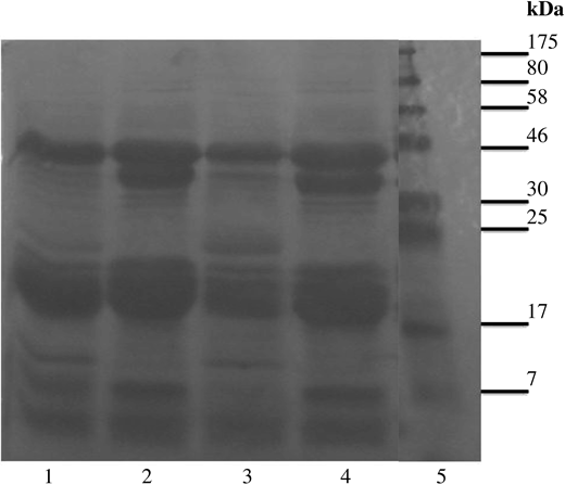 Protein profiles of OSEX using 12% SDS-PAGE analysis. Lane 1 untreated OSEX; Lane 2 heat treated OSEX at 140 °C for 2 hours; Lane 3 stored OSEX sample for 3 days; Lane 4 heated OSEX at 60 °C for 6 hours; and Lane 5 a Marker (New England, BioLab).