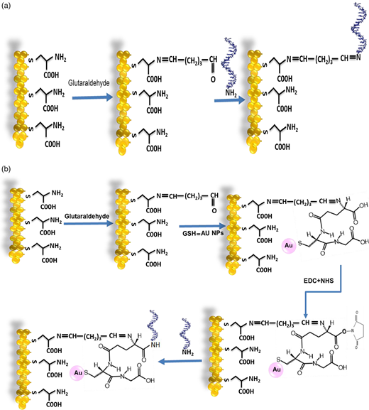 The construction steps and design mechanism of the electrochemical sensor based on (a) Au/cysteine/DNA and (b) Au/cysteine/glutathione-Au NPs/DNA electrodes.
