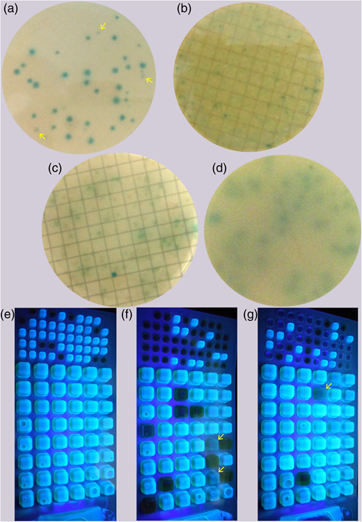 Examples of results obtainable through the two enumeration methods. (a) Typical result of MF with TBX agar, with uncertain colonies indicated by yellow arrows. (b–d) Cases for which the results of MF with TBX agar are not easily interpretable. (e–g) Typical results of Colilert®-18 with uncertain wells indicated by yellow arrows. Please refer to the online version of this paper to see this figure in colour: http://dx.doi.org/10.2166/wh.2016.119.