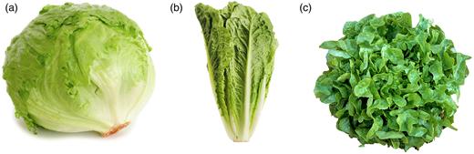 The three varieties of lettuce used in this study. (a) Iceberg (http://www.samsclub.com/sams/taylor-farms-iceberg-lettuce-2-heads/133615.ip), (b) Cos (http://www.samsclub.com/sams/romaine-hearts-6-ct/prod1941521.ip), (c) Oak leaf (http://montecitourbanfarms.com/shop/salanova-green-oakleaf-lettuce/#prettyPhoto).