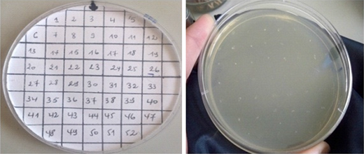 Disposition for recovered cured derivatives on a Petri dish.