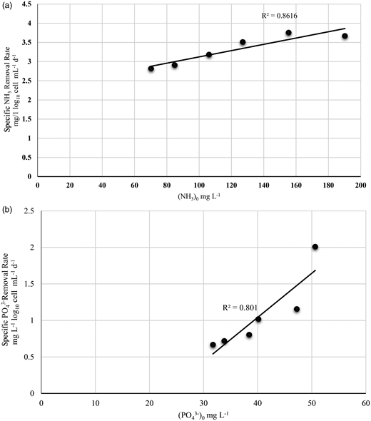 (a) Effect of initial concentration of NH3 on the specific removal by Scenedesmus sp. with initial concentrations of 8 log10 cell mL–1. (b) Effect of initial concentration of PO43– on the specific removal by Scenedesmus sp. with initial concentrations of 8 log10 cell mL–1.