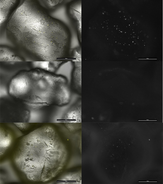 Top: untreated sand, unused ƒ-sand; middle: ƒ-sand with E. coli, ƒ-sand washed with 0.01 M dodecyl glucoside; bottom: washed ƒ-sand with reattached E. coli. Scale bar 100 μm.