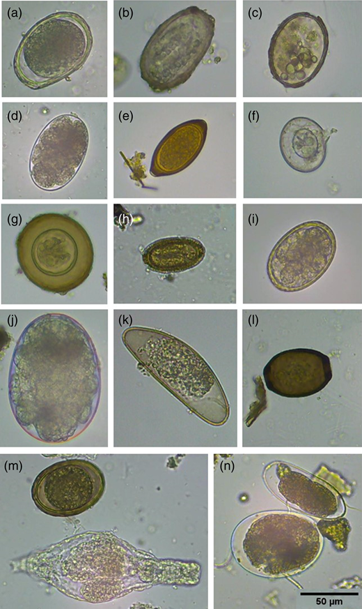 (a) Undeveloped Ascaris sp. egg (PV); (b) Ascaris sp. egg containing necrotic larva; (c) dead (globular) Ascaris sp. egg; (d) developing hookworm sp. egg (PV); (e) undeveloped Trichuris sp. egg (PV); (f) dead (broken wall) Hymenolepis nana egg; (g): (h). diminuta egg (PV); (i) developing Heterakis spumosa egg (PV); (j) developing mite egg; (k) Aspiculuris sp. egg (bad condition); (l) dead Trichosomoides crassicauda egg; (m) undeveloped (PV) Ascaris (top) and rotifer (bottom); (n) unknown hookworm-like, but too long, egg (top) and undeveloped mite egg (bottom). Scale bar (50 μm) for all photographs in bottom right-hand corner.