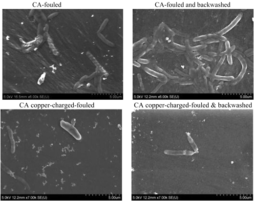 SEM images of the fouled membranes after 5 hours' filtration (left) and fouled and back flushed membranes after 7 hours' filtration (right).