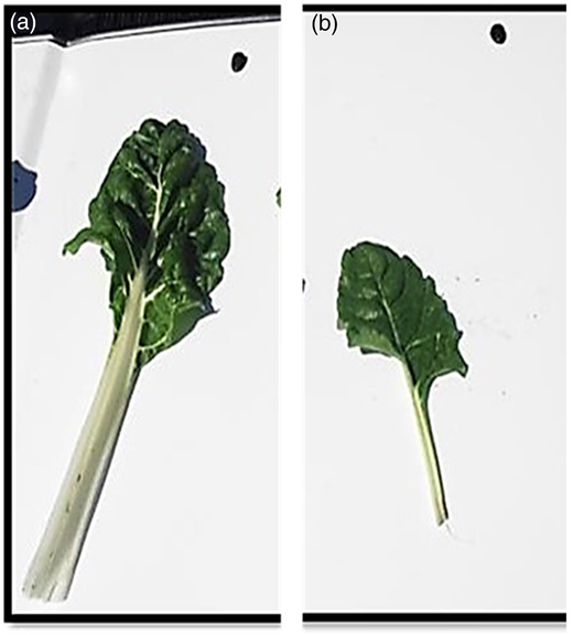 Swiss chard leaves from the ABR treatment (a) and RFF treatment (b) showing differences in growth during the winter season.