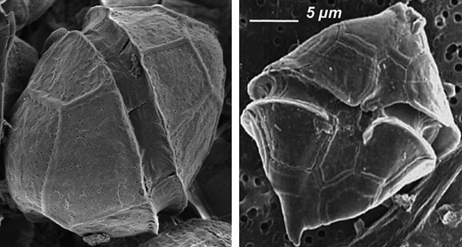 Scanning electron micrograph (SEM) of A. minutum (mean size: 20–23 μm) (left) and H. triquetra (mean size: 17–18 μm) (right). (A. minutum photo: GEPEA-UMR CNRS 6144; H. triquetra photo: CNRC-NRC).
