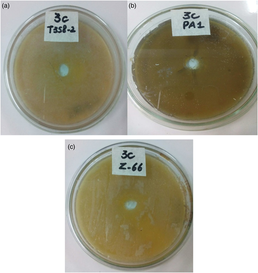 Bacterial decolorized broth used for incubation of (a) B. cereus (T358-2), (b) P. aeruginosa (PA1), and (c) B. subtilis (z-66) at 37 °C for 48 h. No zone of inhibition was observed in any case.
