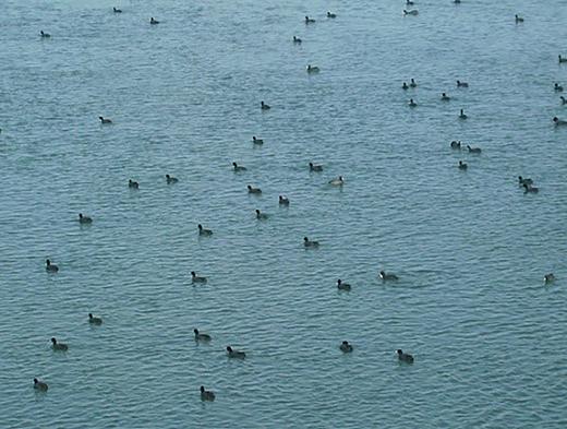 Many ducks inhabit the Euphrates River in Deir Ez-Zor (February 2011).