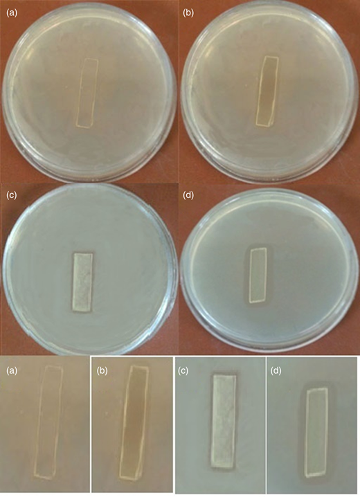 Zone of inhibition measurement of ZnO thin films treated with bacterium E. coli. The samples are (a) control, (b) ZnO film, (c) porphyrin film and (d) TPPS/ZnO film.