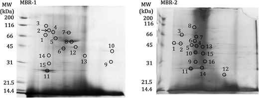 2D-PAGE gel images of the proteins extracted from the fouled membranes.
