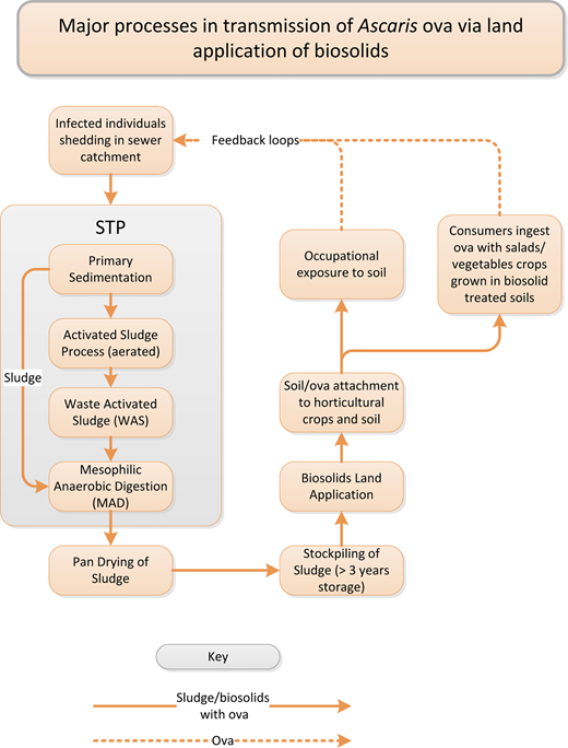 Major processes in the transmission of Ascaris ova with sewage biosolids. The feedback loops are not expected to be significant in developed countries with modern sanitation infrastructure. STP = Sewage Treatment Plant – commonly an activated sludge plant in Victoria.