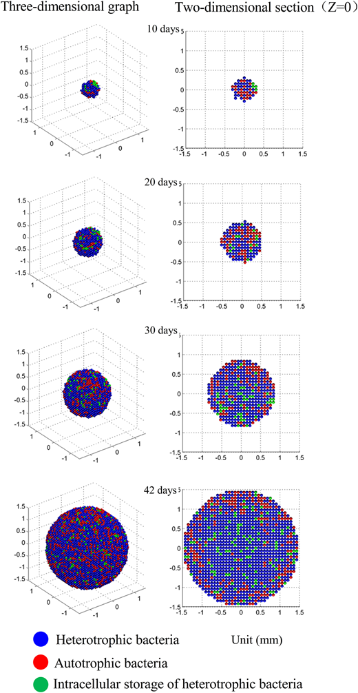 Model simulation results of the growth process of the aerobic granules.