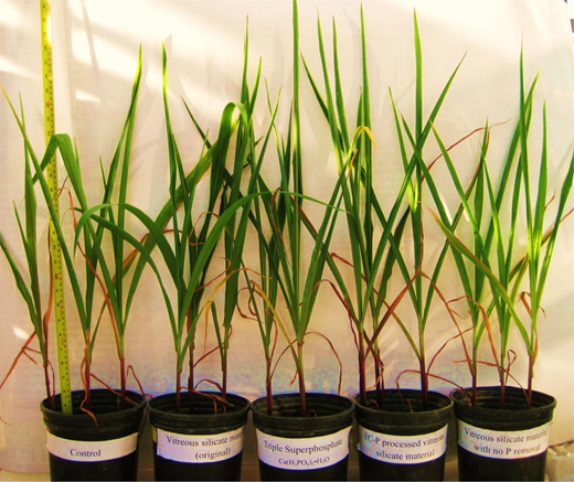 Corn plant growth study indicates that the VSM alone and the VSM (STE/EC-P) acted as positive 'fertilizer' soil amendments compared to the control soil. Left to right: control soil (no amendments added to sand-loam soil); soil + VSM (virgin medium); soil + triple superphosphate Ca(H2PO4)2•H2O; soil + VSM (STE/EC-P); soil + VSM (STE).