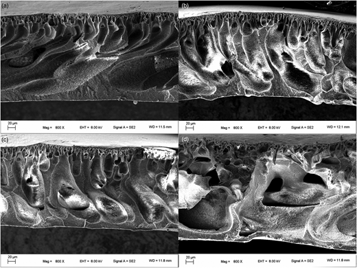 Cross-sectional SEM morphology images of (a) pristine PES membrane, (b) PES-g-PIA with DG of 1.61% membrane, (c) PES-g-PIA with DG of 5.17% membrane, and (d) PES-g-PIA with DG of 7.56% membrane.