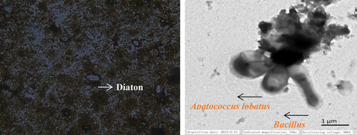 The microscope and TEM images of biofilm.